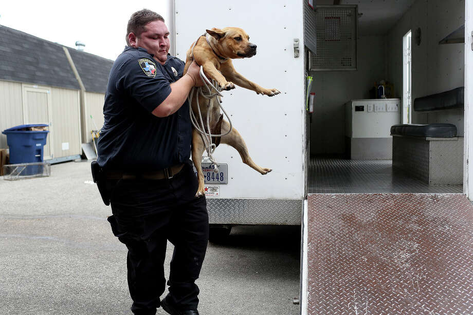 Animal Care Services officer Joe Cortez transfers Lucy from the Animal Care Services truck to a transport cage at Animal Care Services in San Antonio on October 30, 2013. Photo: Lisa Krantz, San Antonio Express-News / San Antonio Express-News