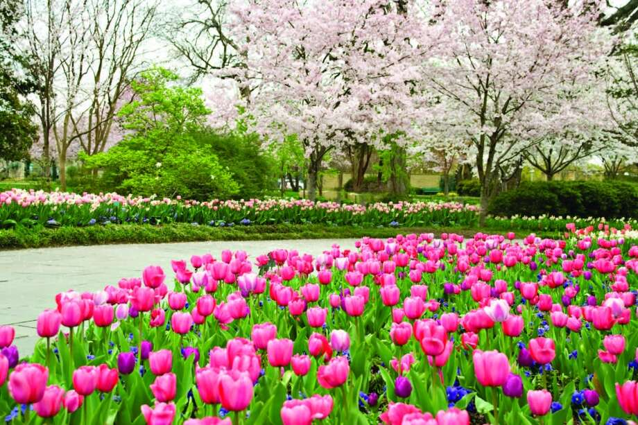 Cherry blossom trees in full bloom are the perfect companion for thousands of blooming tulips and other bulbs.Related Here & There blog: A color explosion at Dallas Blooms Photo: Courtesy Dallas Arboretum
