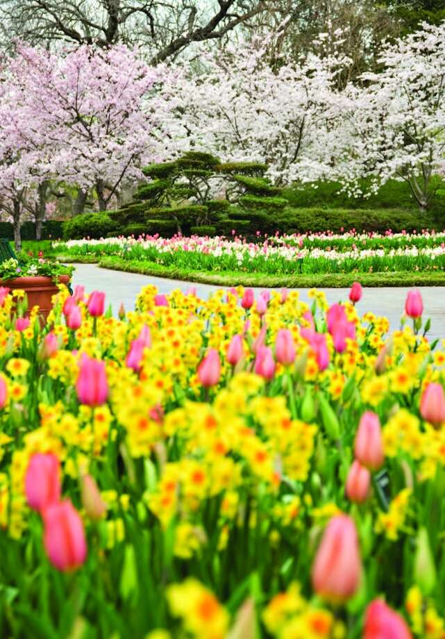 "Along with the displays of beautiful cherry blossom trees, tulips, daffodils and other spring bloomers, Dallas Blooms will include a number of special events, including ""Mommy and Me Mondays"" and ""Tiny Tot Tuesdays.""Related Here & There blog: A color explosion at Dallas Blooms Photo: Courtesy Dallas Arboretum"