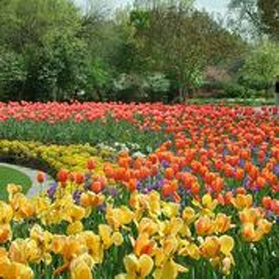 Have your camera ready for a dazzling display of blooms in almost every color of the rainbow.Related Here & There blog: A color explosion at Dallas Blooms Photo: Courtesy Dallas Arboretum