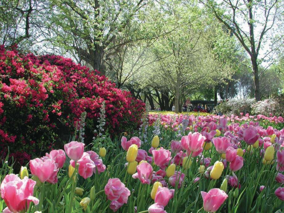 Azaleas that do so well in Dallas and East Texas will add to the brilliant displays at Dallas Blooms.Related Here & There blog: A color explosion at Dallas Blooms Photo: Courtesy Dallas Arboretum