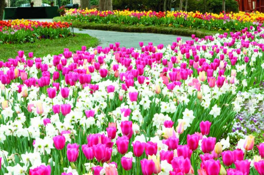 Beds of tulips in a wide variety of colors will have you finding many different focal points for your camera at the floral festival.Related Here & There blog: A color explosion at Dallas Blooms Photo: Courtesy Dallas Arboretum