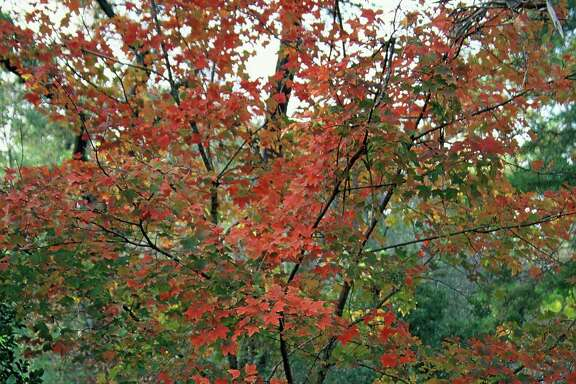Chalk maples can provide good fall color in the Houston area.