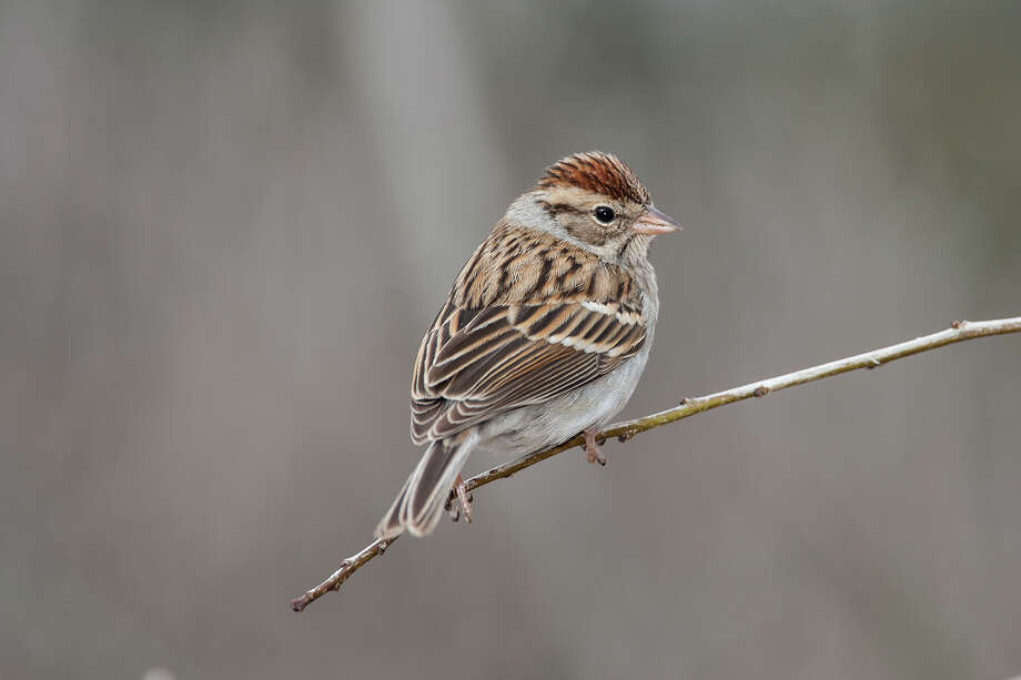Flocks of chipping sparrows are common around backyard feeders in the winter. Photo: Kathy Adams Clark / Kathy Adams Clark/KAC Productions
