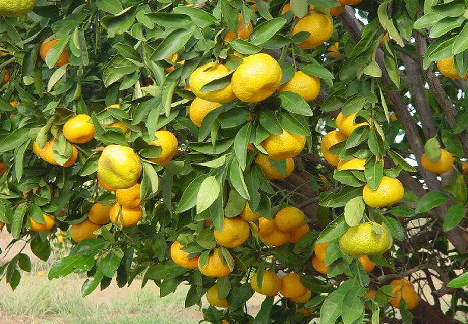 When planted in the ground, a satsuma can grow to 12 feet high and yield several bushels of fruit. In a container, a tree can  grow about half a bushel of citrus. Photo: Courtesy Photo