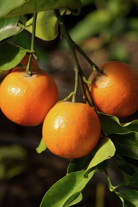 Mandarins are among the various citrus available at winter fruit sales. Chronicle file photo Photo: Bill Olive, Freelance / Freelance