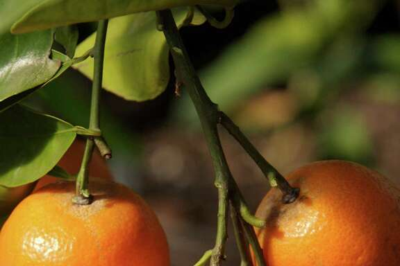 Mandarins are among the various citrus available at winter fruit sales. Chronicle file photo