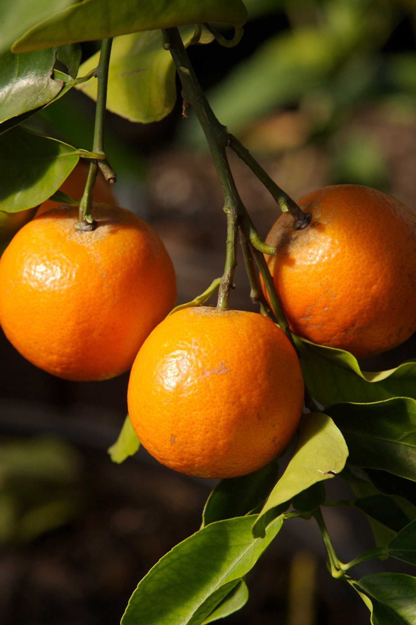 Citrus One Of The Easiest Most Productive Fruits In Home Orchard Houstonchronicle