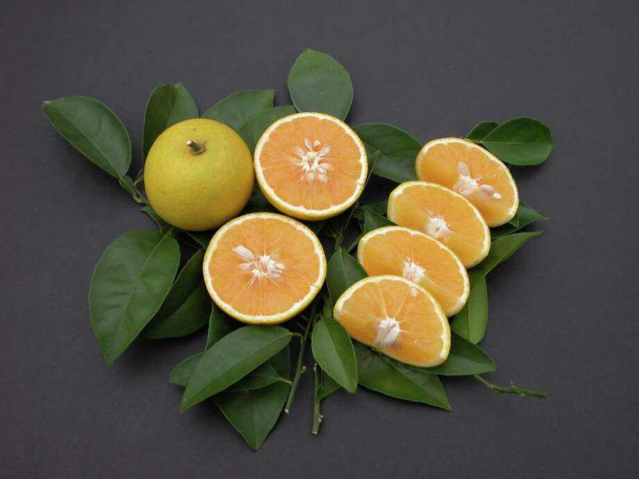 'Republic of Texas'  orange  will be one of the many Gulf Coast-friendly varieties of fruit trees available at upcoming fruit tree sales. TreeSearch Farms photo / e-mail