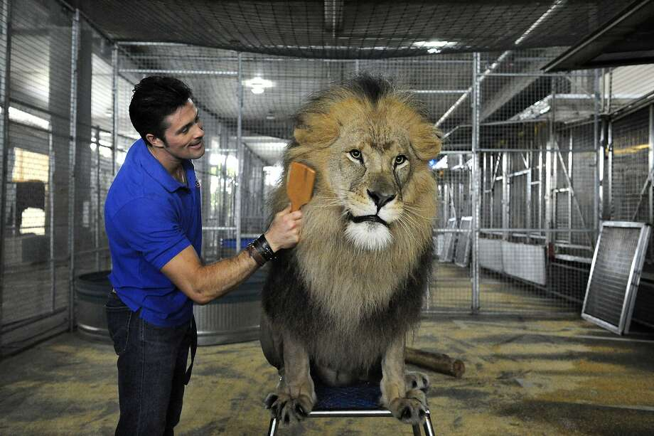 "How do you brush a 750-pound lion? Carefully:Fortunately for trainer Alexander Lacey, Masai seems to enjoy being groomed, even when the brush snags on a tangle. Masai was getting primped for opening night of The Ringling Bros. and Barnum & Bailey Circus ""Legends"" tour in Orlando, Fla. Photo: Gary Bogdon, Associated Press"