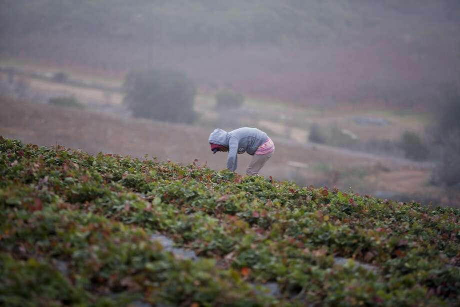 California: A laborer picks strawberries at J.R. Organics Farm in Escondido, California. A group of organic food producers and nonprofit food safety organizations urged the Secretary of Agriculture to extend the period for public comment about the issue of agricultural coexistence between genetically modified and non-modified crops, citing the rejection of several contaminated export shipments in 2013. Photo: Sam Hodgson, Bloomberg