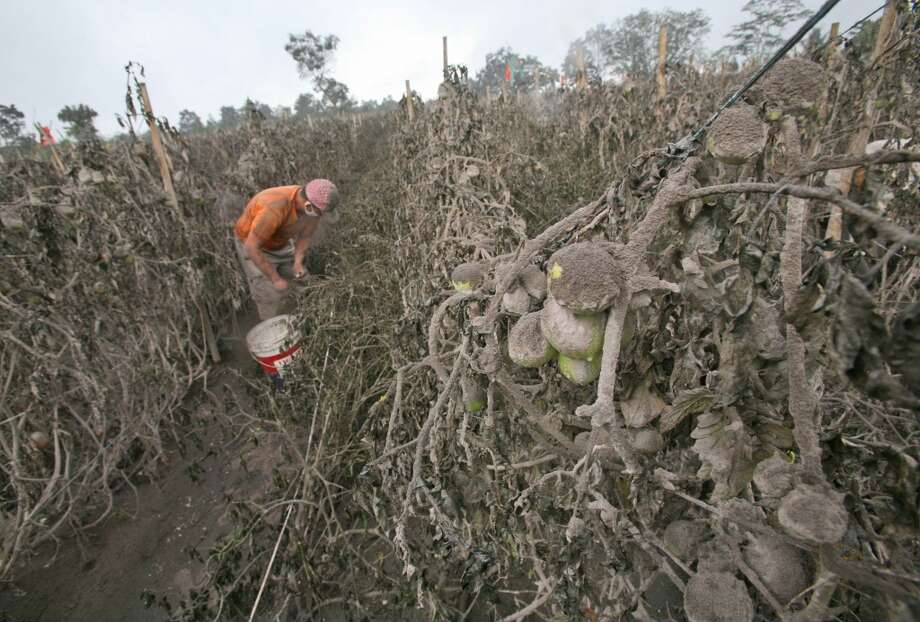 Indonesia: A farmer prematurely harvests tomatoes from a field damaged by volcanic ash from the eruption of Mount Sinabung in Sibintun, North Sumatra, Indonesia, Thursday, Jan. 9, 2014. Photo: Binsar Bakkara, Associated Press