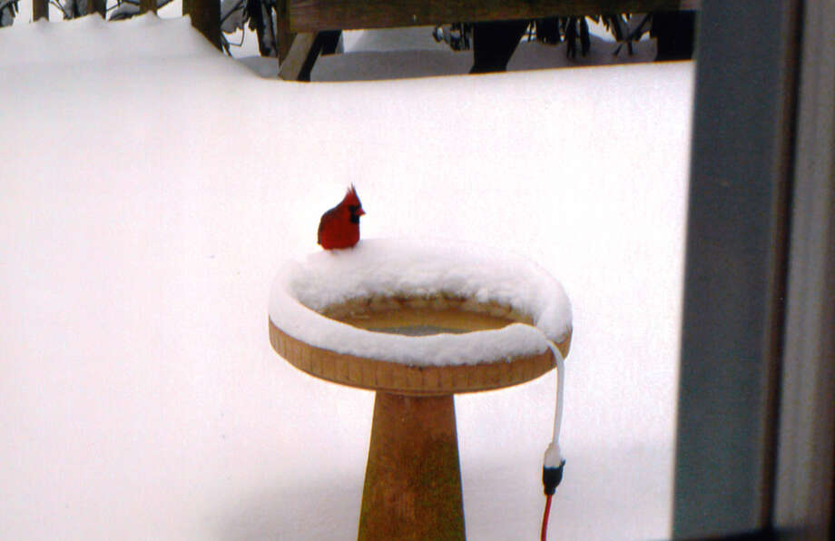 One of the many cardinals that stop for a drink of water in Carol Lezatte?s backyard in Glenmont.