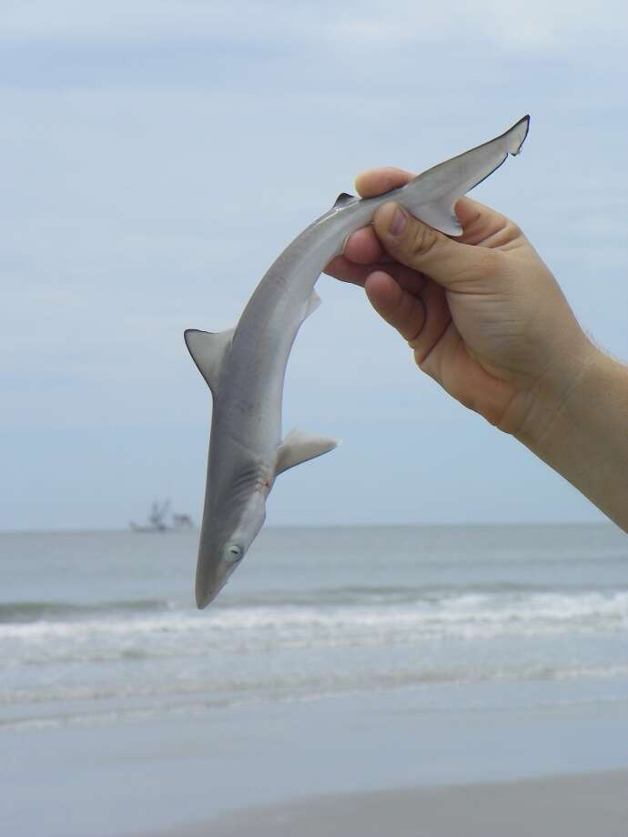 Small sand sharks are plentiful in the surf -- ignoring the swimmers but often ending up on the end of a fishing line before getting thrown back. Photo: Terry Scott Bertling, San Antonio Express-News