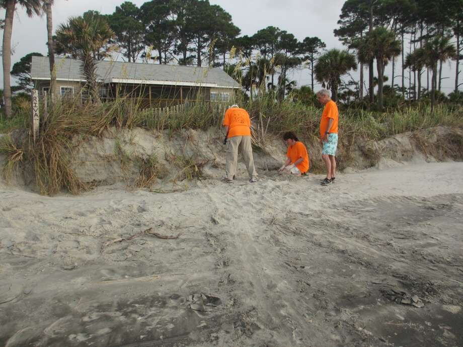 The turtle patrol volunteers check out a spot on the beach after seeing the V-shaped loggerhead tracks. They found no eggs after digging and poking in the sand for a while. Photo: Terry Scott Bertling, San Antonio Express-News