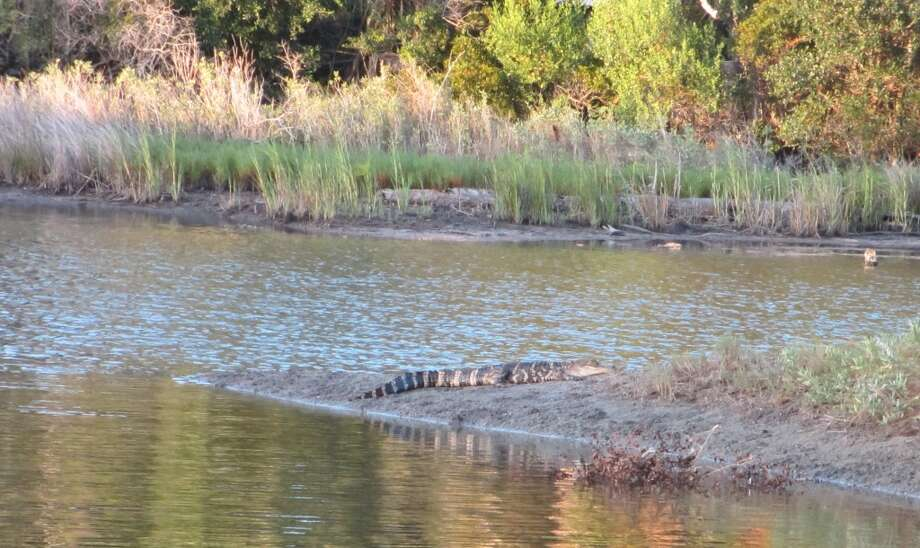 An alligator basks in the sun on the bank of the Old House Lagoon. Photo: Terry Scott Bertling, San Antonio Express-News