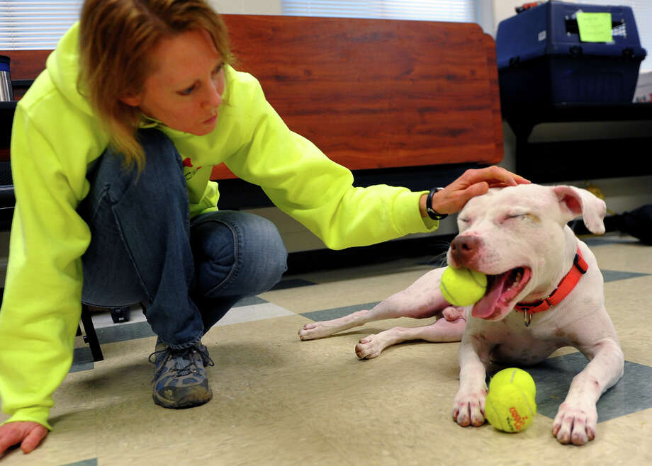 "Volunteer Jen Sutton pet Kirby, a two year old lab mix, as he plays with a tennis ball, during the ""Dog Days of Winter"" pet adoption event held by the Stratford Animal Rescue Society (STARS) at the Stratford Animal Control facility in Stratford, Conn. on Saturday January 11, 2014. The staff brought Kirby out into the front room for a while so he had a chance to play and be seen by potential families looking to adopt. All pet adoption fees will be paid for by STARS to qualified adopters for the rest of January. Photo: Christian Abraham / Connecticut Post"