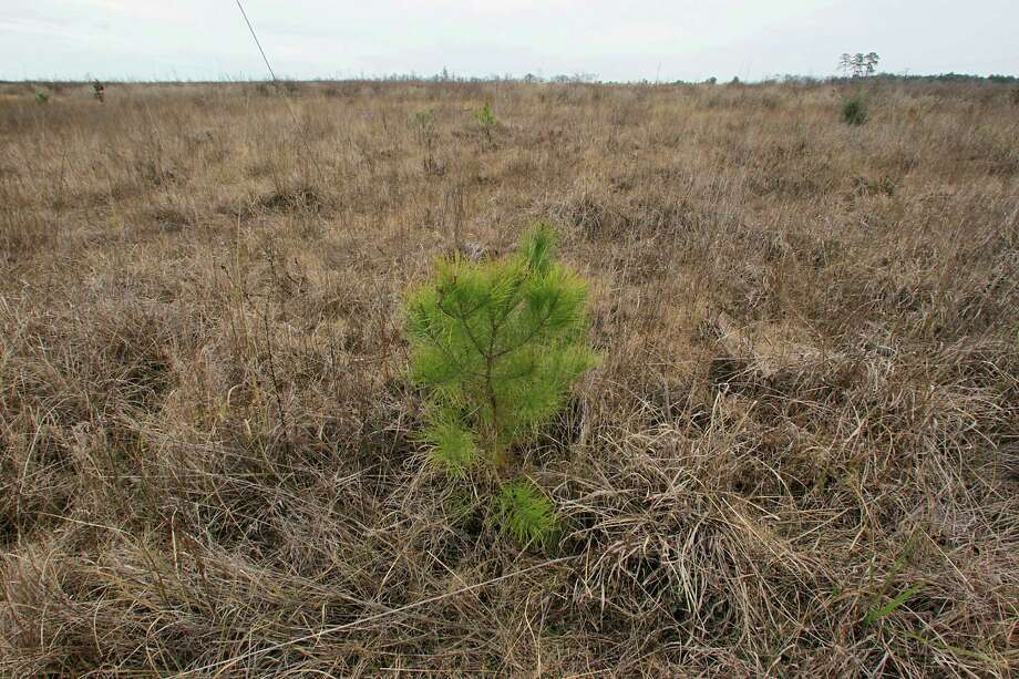 A pine sapling sprouts on Rice University's land that was burned by the Riley Road Fire of 2011 in Waller County. Photo: James Nielsen, Staff / © 2013  Houston Chronicle