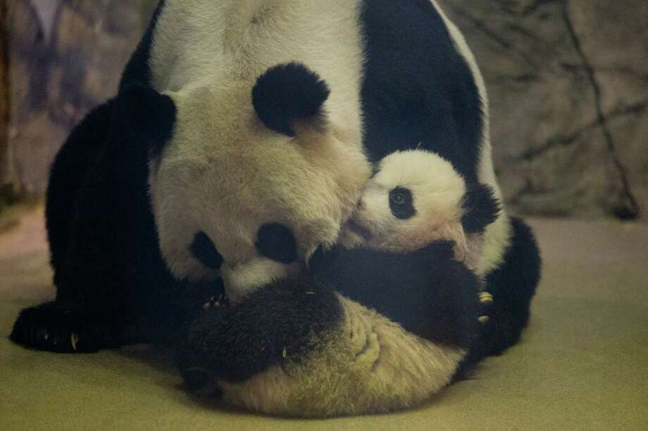 Bao Bao, the four and a half month old giant panda cub, nibbles on her mother Mei Xiang in their indoor habitat at the Smithsonian's National Zoo in Washington, Tuesday, Jan. 7, 2014. Bao Bao, who now weighs 17.38 pounds (7.9 pounds), was born to the zoo's female giant panda Mei Xiang and male giant panda Tian Tian. Photo: Charles Dharapak, AP  / AP