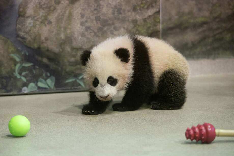 Bao Bao, the four and a half month old giant panda cub looks at her toys in her indoor habitat at the Smithsonian's National Zoo in Washington, Tuesday, Jan. 7, 2014. Bao Bao, who now weighs 17.38 pounds (7.9 pounds), was born to the zoo's female giant panda Mei Xiang and male giant panda Tian Tian. Photo: Charles Dharapak, AP  / AP2014