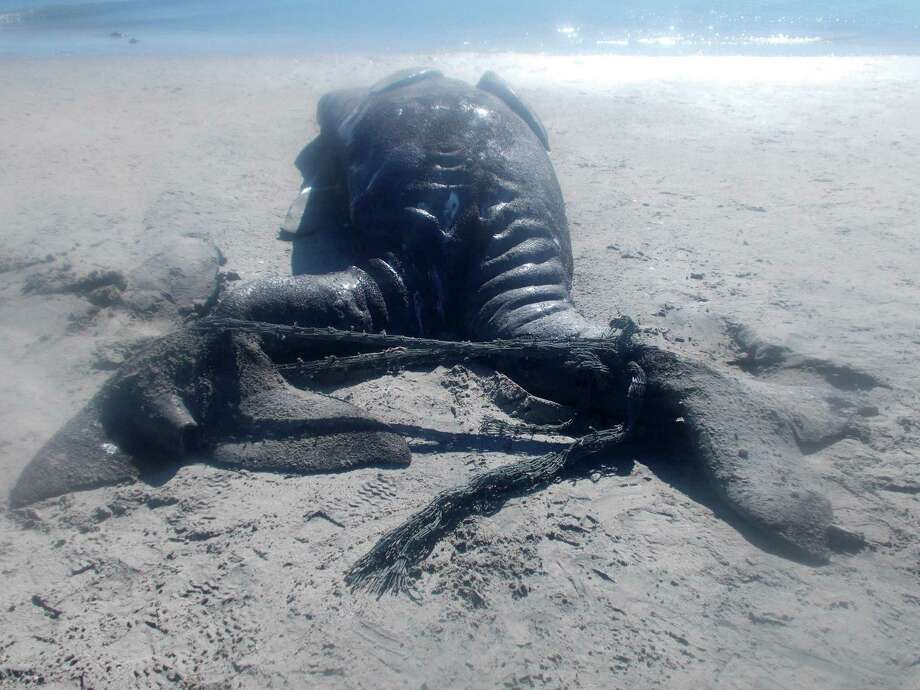 In this photo released Wednesday Jan. 8, 2014, by Mexico's National Natural Protected Areas Commission, CONANP, conjoined gray whale calves lie dead on a beach inside the Ojo de Liebre lagoon near the town of Guerrero Negro, Baja Peninsula, Mexico, Jan. 5, 2014. According to government authorities, fishermen found the calves that were linked at the waist with two full heads and tail fins. Photo: Uncredited, AP  / AP2014