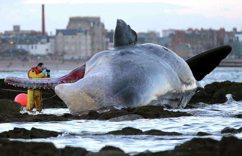 A marine rescue worker photographs a sperm whale that washed up on Portobello beach in Edinburgh, Scotland, Saturday, Jan. 11, 2014. Police in Scotland and a Scottish Society for Prevention of Cruelty to Animals, SSPCA, team were called to Portobello beach near the Rockville hotel in Joppa, Edinburgh, at around 7.30 am Saturday. A spokeswoman said the animal is dead and arrangements are being made with Edinburgh City Council to remove it from the water. (AP Photo/PA, Andrew Milligan)  Photo: Andrew Milligan, AP  / PA