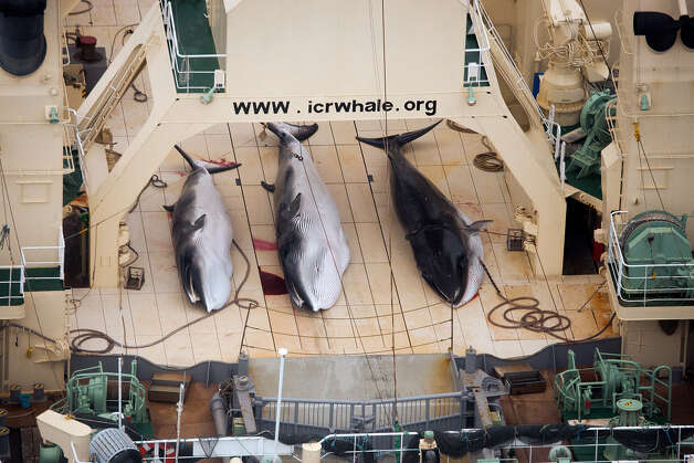 In this photo taken on Sunday, Jan. 5, 2014 and supplied by Sea Shepherd Australia on Monday, Jan. 6, 2014, three dead minke whales lie on the deck of the Japanese whaling vessel Nisshin Maru, in the Southern Ocean.  Anti-whaling group Sea Shepherd said it caught up with all five of Japan's whaling vessels on Monday and found evidence of whale kills on one. Japan is allowed to hunt the animals for scientific purposes under an exception to a 1986 ban on whaling. But opponents argue the scientific program is a cover for commercial whaling because whale meat not used for study is sold as food in Japan. (AP Photo/Tim Watters, Sea Shepherd Australia) Photo: Tim Watters, AP  / AP2014