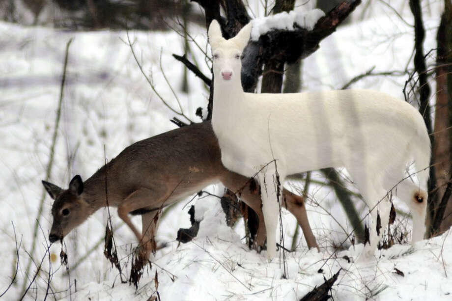 An albino Whitetail deer and a normal colored one browse through the woods of western Indiana Friday Jan 10, 2014. Albinism occurs in roughy 1 in 20,000 deer. Photo: Jim Avelis, AP  / Tribune-Star