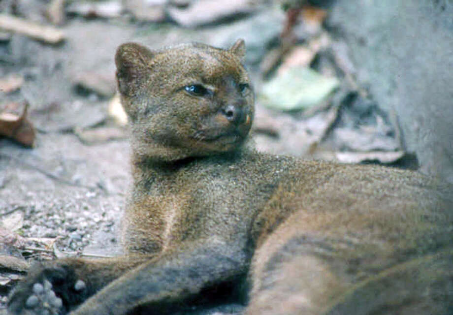 The jaguarundi, bigger than an average housecat, had much of its thorn scrub habitat cleared for agriculture and development along the border. The jaguarundi was listed as an endangered species in 1976. The last confirmed sighting of a jaguarundi in the U.S. was a dead one near Brownsville in 1986. Photo: Arthur Caso / Associated Press / ARTHURO CASO