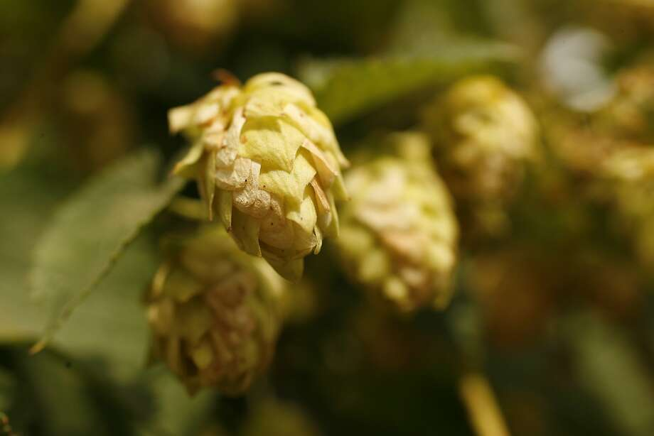Now is a good time to start planning to grow a hop plant in your garden, since rhizomes are usually available in March. Hops are used to add flavor and aroma to beer, and the shoots can also be eaten. Photo: Craig Lee, SFC