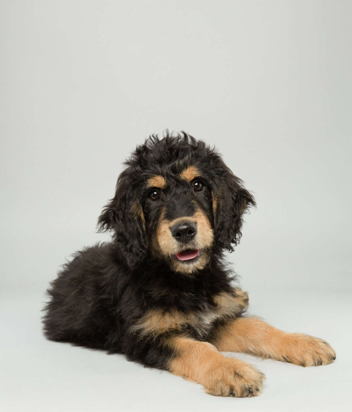 Name: Bach Age: 14 weeks  Breed: Bernedoodle  Fact: Thinks Mozart is overrated. See more images of the Puppy Bowl competitors from Animal Planet.