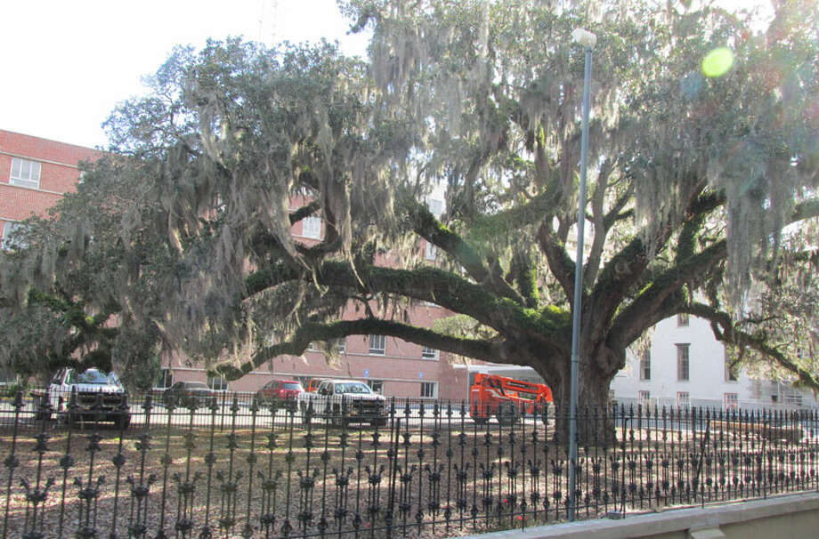 This is known as the Candler Oak, and it is thought to be approximately 300 years old. It sits on property owned by the Savannah Law School.  Learn more about efforts to protect this tree. Photo: Sarah Diodato