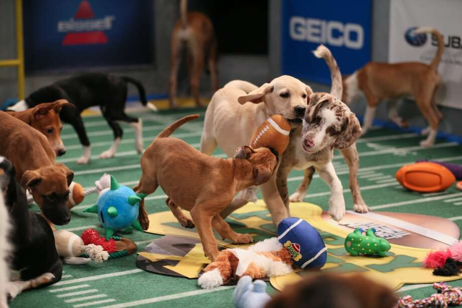 Meet the starting lineup for this year's Puppy Bowl X, kicking off 2 p.m. (CST) Sunday, Feb. 2. Photo: Damian Strohmeyer, Animal Planet/Damian Strohmeyer