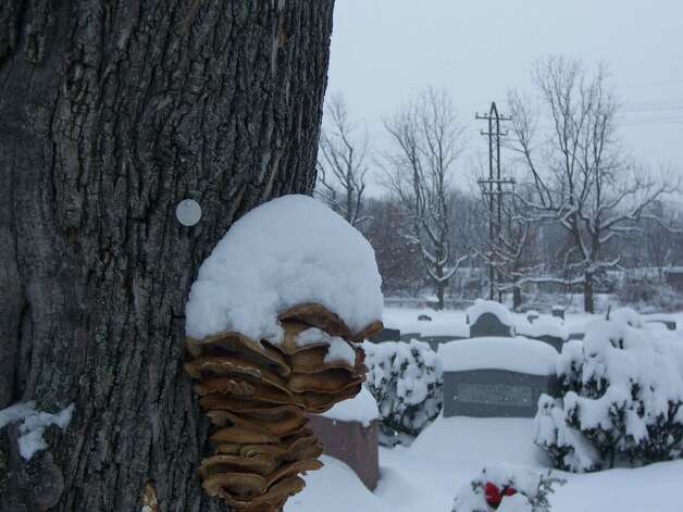 """A recent deep snow covered Historic St. Agnes Cemetery in Albany making an already peaceful place seem even quieter.  The strange fungal growth on the tree appears to be gritting its """"teeth"""" against the cold.    (Kelly Grimaldi)"""