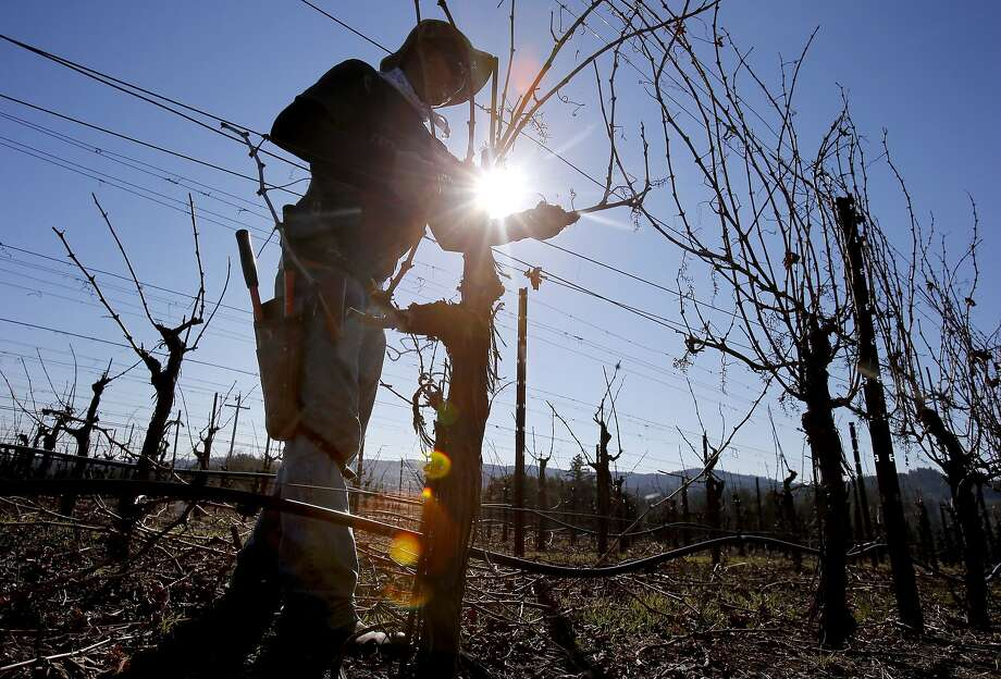 In the Dry Creek Valley of Sonoma County, a worker prunes some cabernet vines for the winter.  Sustainability also helps the workers get health insurance Tuesday January 14, 2014. Sonoma County vintners are announcing that winemakers here will be completely sustainable within five years, making it the first wine region in the country with such a designation. Photo: Brant Ward, The Chronicle