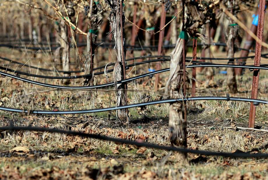 A drip system waters vines in Sonoma County where growers have embraced environmentally friendly practices with the goal of being 100 percent sustainable. Photo: Brant Ward, The Chronicle
