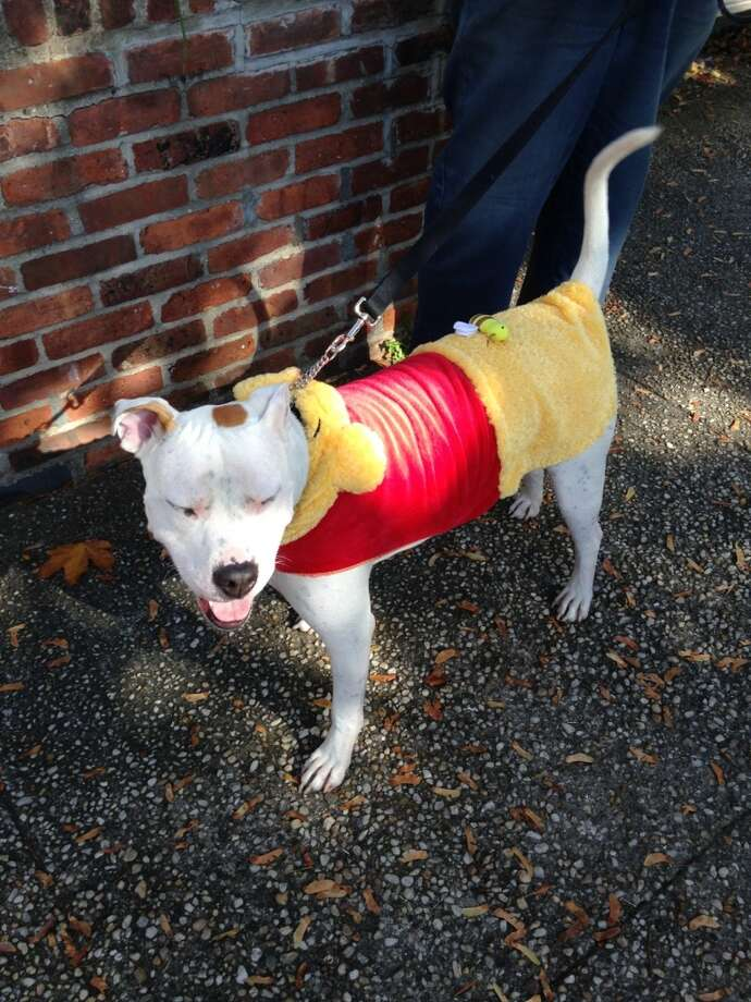 Kerri Barker's dog Patches, dressed up as Winnie the Pooh. Photo: Kerri Barker