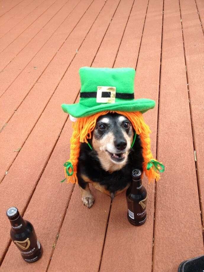 Reader Sally Olson's dog, Queenie, on St. Patrick's day. Photo: Sally Olson.