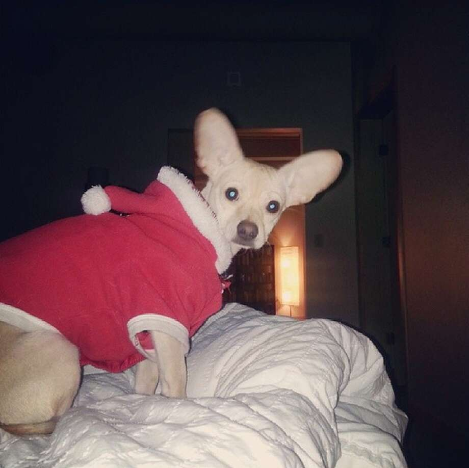 Dennis Jansen's chiweenie in a Santa suit. Photo: Dennis Jansen