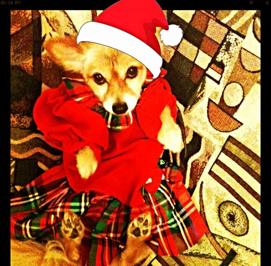 Reader Diana Ortiz's dog Missy poses for a Christmas photo. Photo: Diana Ortiz / Submitted Photo