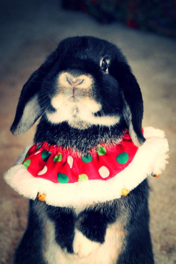 Reader Christy's pet rabbit, Oreo, in his tutu. Photo: Submitted Photo