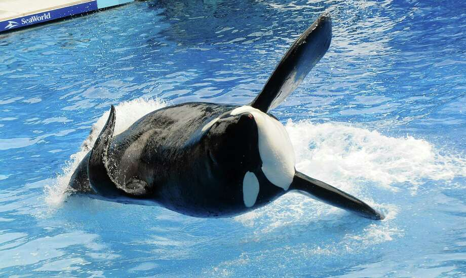 "A number of musical acts have canceled performances at SeaWorld in Florida or ended their relationship with the theme park because of the controversial film ""Blackfish."" Click ahead to see which musicians have have joined the list.Seen here is the subject of the film, Tilikum, during a performance at Sea World on March 30, 2011 in Orlando, Florida. Photo: Gerardo Mora, Getty Images / 2011 Getty Images"