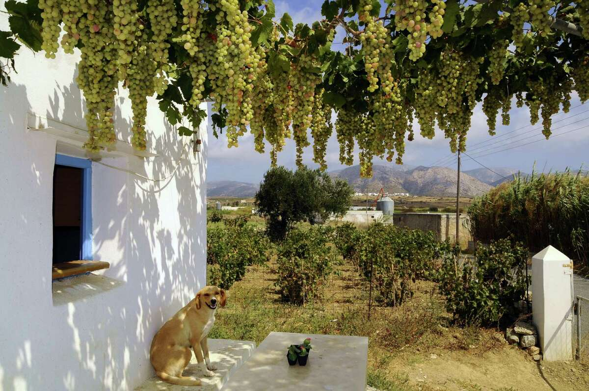 Vineyard and grapes hang above a porch on the island of Naxos, the Cyclades, Greece.