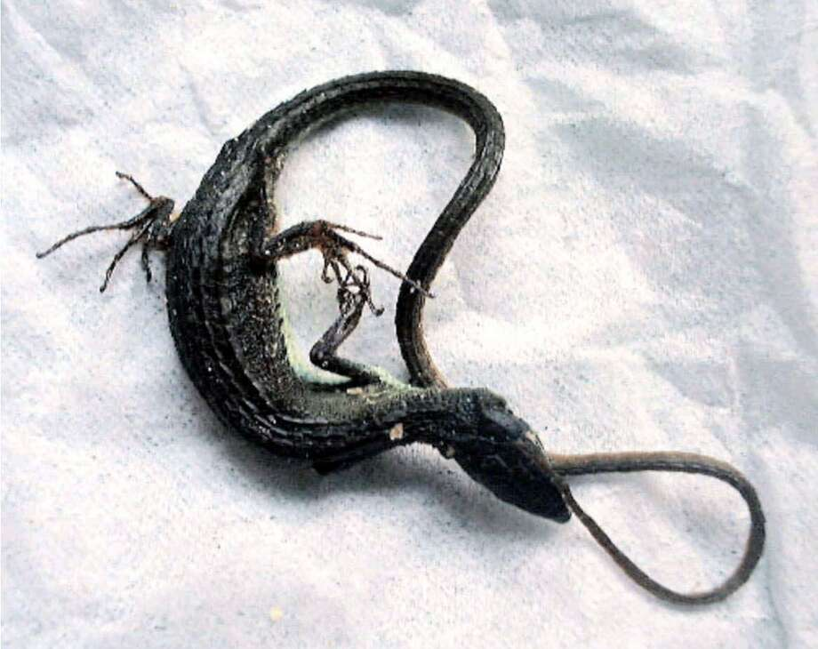 A dead lizard is shown to the media at the Tokyo Metropolitan Health Department Aug. 12, 2000. The dead lizard was found inside a bag of potato chips produced on July 21 and the Calbee Food Co. recalled about 62,000 bags of the snack distributed in and around Tokyo. Photo: AP