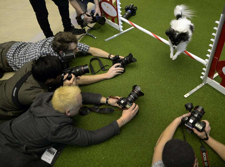 Papillon vs. paparazzi: A Papillon hurdles a bar and dodges photographers at a photo call for the first Masters Agility Championship at the Westminster Kennel Club Dog Show. The actual competition will be held Feb. 8 at Madison Square Garden. Photo: Timothy A. Clary, AFP/Getty Images