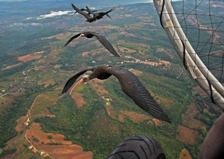 Northern bald ibises fly in formation next to a microlight aircraft. A new study says the birds get an aerodynamic advantage flying in a V. Photo: Associated Press / Nature