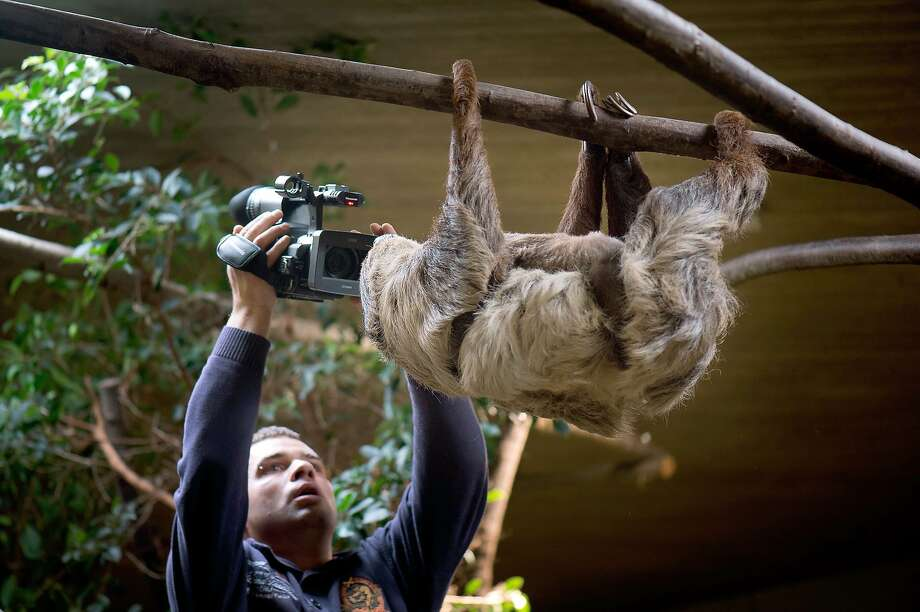 Slow-motion video:A cameraman films a sloth during the annual inventory at the zoo in Dresden, Germany. Photo: Arno Burgi, AFP/Getty Images