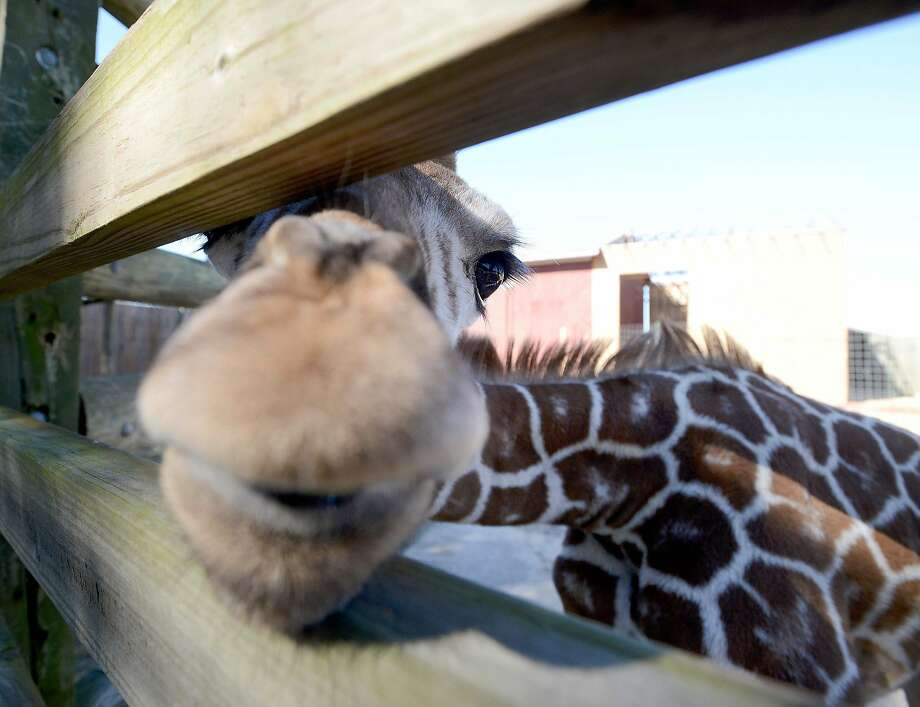 No WD-40 needed:Two-month-old Gamba isn't stuck in the fence of his enclosure at Gulf Breeze Zoo in Gulf Breeze, Fla. He's just looking for a treat. Got any iceberg lettuce on you? Photo: Nick Tomecek, Associated Press