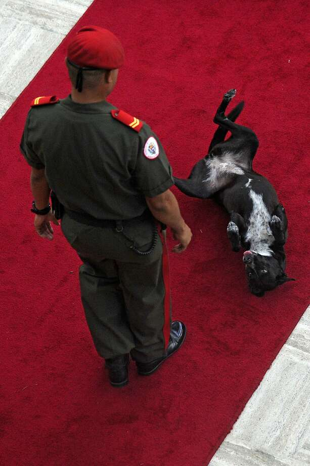 In a breach of protocol,the solemn rolling out of the red carpet for Venezuelan President Nicolas Maduro at parliament in Caracas is disrupted by a request for a belly rub. Photo: Leo Ramirez, AFP/Getty Images