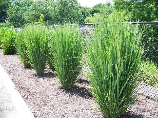 Gardener 39 s notebook northwind switchgrass deserving of for Tall grasses for sun